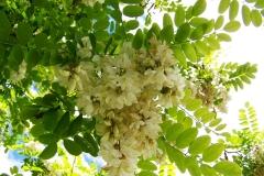 květ akátu