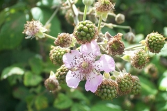 květ ostružiny