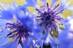 květ chrpy luční