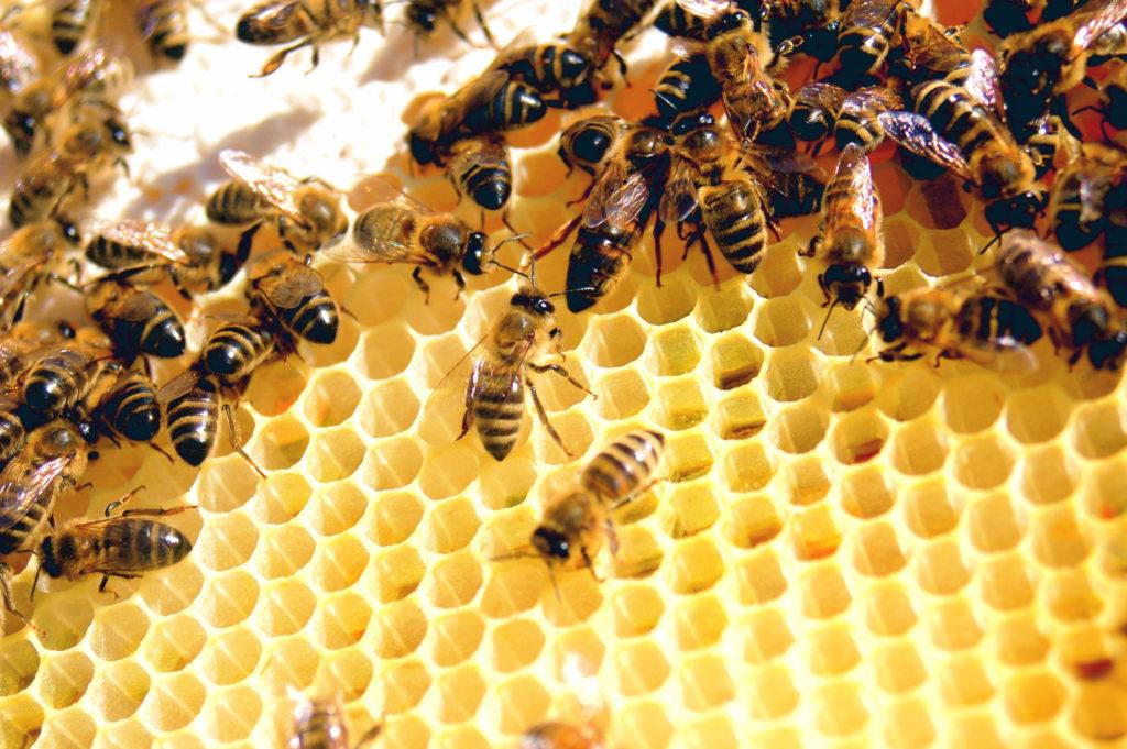 včely na plástu tvoří med