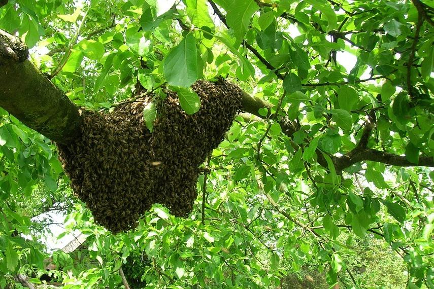 včelí roj